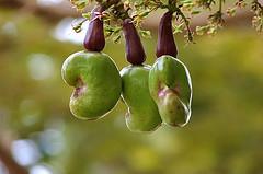selenium-acajou- cashew tree